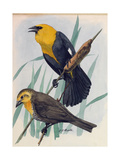 A Painting of a Pair of Yellow-Headed Blackbirds