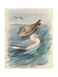 A Painting of Two Herring Gulls in Different Seasonal Plumage