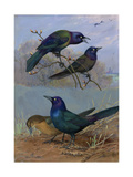 Painting of Purple Grackles and Boat-Tailed Grackles