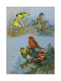 A Painting of Several Species of Crossbill
