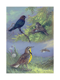 Painting of an Eastern Cowbird Pair and Eastern Meadowlarks