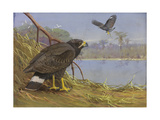 A Painting of Two  Adult Common Black-Hawks