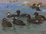 A Painting of American  White-Winged  and Surf Scoters