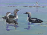 A Painting of Red-Throated and Pacific Loons