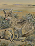 A Plains Coyote  also known as a Prairie Wolf  Beside a Dead Hare