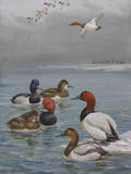 A Painting of Canvasback  Redhead  and Ring-Necked Ducks