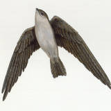A Painting of a White Nest Swiftlet