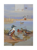 A Painting of a Shoveler  Cinnamon Teal  and Blue-Winged Teal