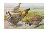 A Painting of a Male and Female Prairie Chicken with a Heath Hen