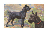 Portrait of Giant Schnauzers Standing on Rocky Outcrop Near Castle