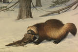 A Painting of a Wolverine Dragging Away an Animal Killed by a Snare
