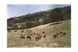 In a Pasture Near Pleasanton Hereford Cattle Graze