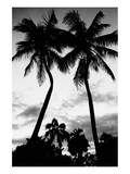 Palm Tree Silhouettes  Naples  Florida