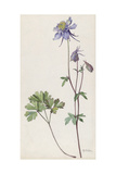 A Painting of a Sprig of Colorado Blue Columbine