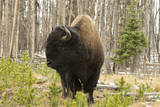 Portrait of an American Bison  Bison Bison  in a Wooded Setting