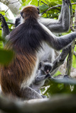 A Zanzibar Red Colobus Infant Chewing on a Branch in a Coral Rag Forest with it's Mother