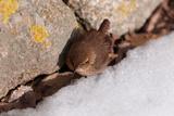 A Winter Wren  Troglodytes Hiemalis  Foraging Between a Rock Wall and a Snow Bank