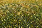 Greenthread  Navajo Tea  or Hopi Tea  Thelesperma Filifolium  in Bloom