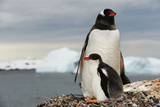 A Gentoo Penguin  Pygoscelis Papua  in its Nest with its Chick