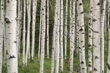 Quaking Aspen Tree Trunks in a Woodland