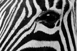 Close Up of a Burchell's Zebra Eye  Equus Burchelli