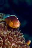 A Skunk Anemonefish Swimming Among the Stinging Tentacles of its Anemone