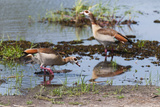 Two Egyptian Geese  Alopochen Aegyptiacus  Foraging in Shallow Water