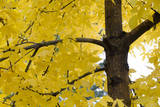 Golden Leaves on a Tree in Autumn