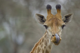Portrait of a Giraffe  Giraffa Camelopardalis  Licking its Lips after a Drink