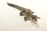 A Critically Endangered Cuban Crocodile  Crocodylus Rhombifer