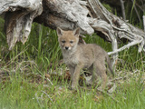 A Coyote Puppy Stands Looking at the Camera