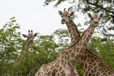 A Portrait of Three Female Southern Giraffes  Giraffa Camelopardalis  Looking at the Camera