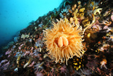 A Bright Orange Sea Anemone and Other Invertebrates Encrusting an Underwater Wall