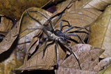 A Wolf Spider Is an Agile and Fierce Hunter Searching for Prey in the Leaf Litter
