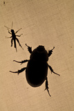 The Silhouette of a Beetle and Grasshopper Resting on Tent Canvas in the Amazon Rainforest at Night