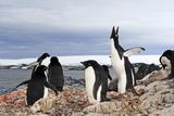 A Flock of Adelie Penguins  Pygoscelis Adeliae  on a Rocky Antarctica Shore