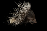 Indian Crested Porcupine  Hystrix Indica  at the Omaha Zoo