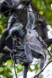 A Zanzibar Red Colobus Infant Eating and Playing with Twigs in the Canopy of a Coral Rag Forest