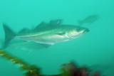 Portrait of a Pollock Fish  Pollachius Virens  Swimming Past Kelp