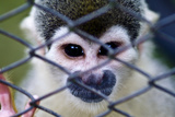 After Being Trapped by Poachers and Sold as a Pet a Squirrel Monkey Sits in a Pet Carrier