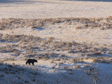 A Grizzly Bear Walks across a Plain with Fresh Snow Past Two Ravens Sitting on Tree Branches