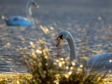 Two Swans Swim on a Pond in Richmond Park on a Sunny Morning