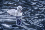 A Trumpeter Swan Cygnet Swims and Forages in Rippled Water