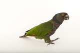 An Endangered Imperial Parrot at the Rare Species Conservatory Foundation  One of Two in Captivity