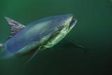 A Bluefin Tuna Swims in Waters Off Prince Edward Island