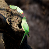 Two Ring-Necked Parakeets Make Contact on the Trunk of a Oak Tree