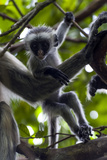 A Zanzibar Red Colobus Infant Playing Beside its Mother in the Canopy of a Coral Rag Forest