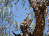 Two Green Barred Woodpeckers Perching in a Tree