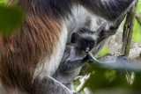 A Zanzibar Red Colobus Chewing on a Branch in a Coral Rag Forest with its Mother