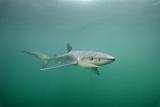 Portrait of a Blue Shark  Prionace Glauca